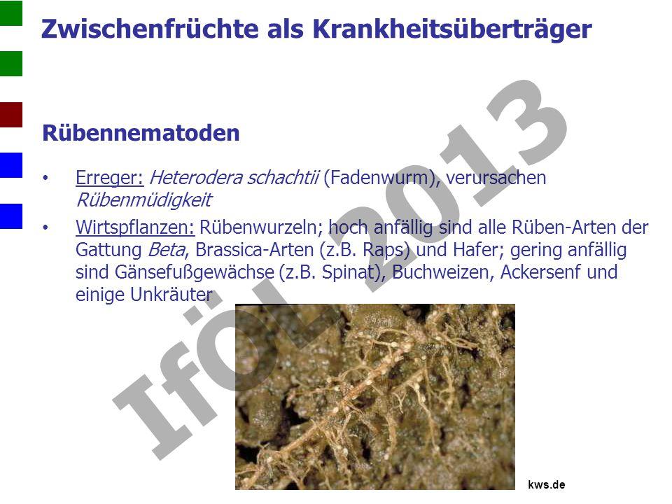 Rübennematoden Erreger: Heterodera schachtii (Fadenwurm), verursachen Rübenmüdigkeit Wirtspflanzen: Rübenwurzeln; hoch anfällig sind alle Rüben-Arten der Gattung Beta, Brassica-Arten (z.B.