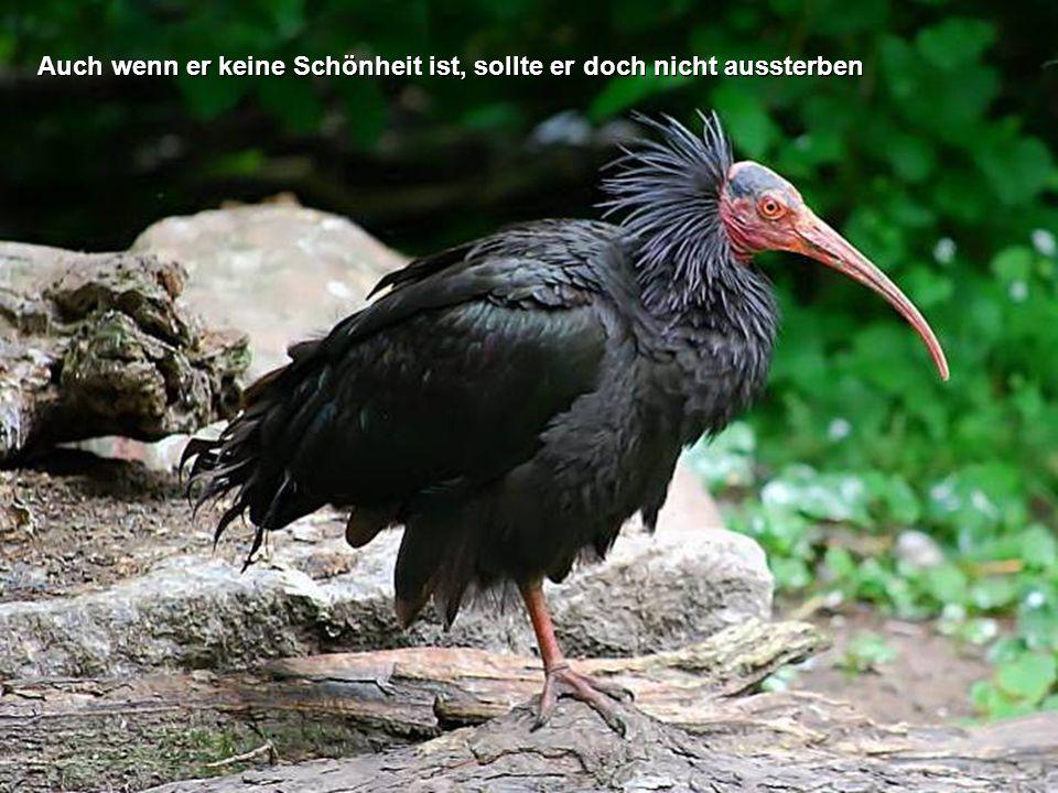 Der Waldrapp ist eine seltene Ibis-Art und gehört zu den am meisten vom Aussterben bedrohten Tierarten der Welt.