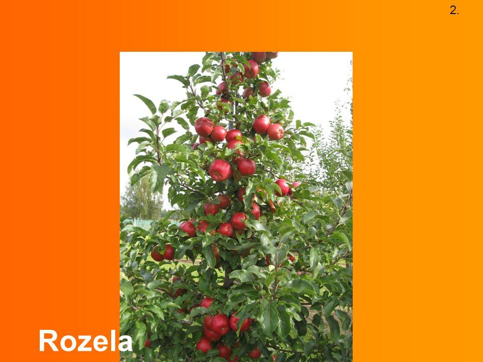 2. Rozela