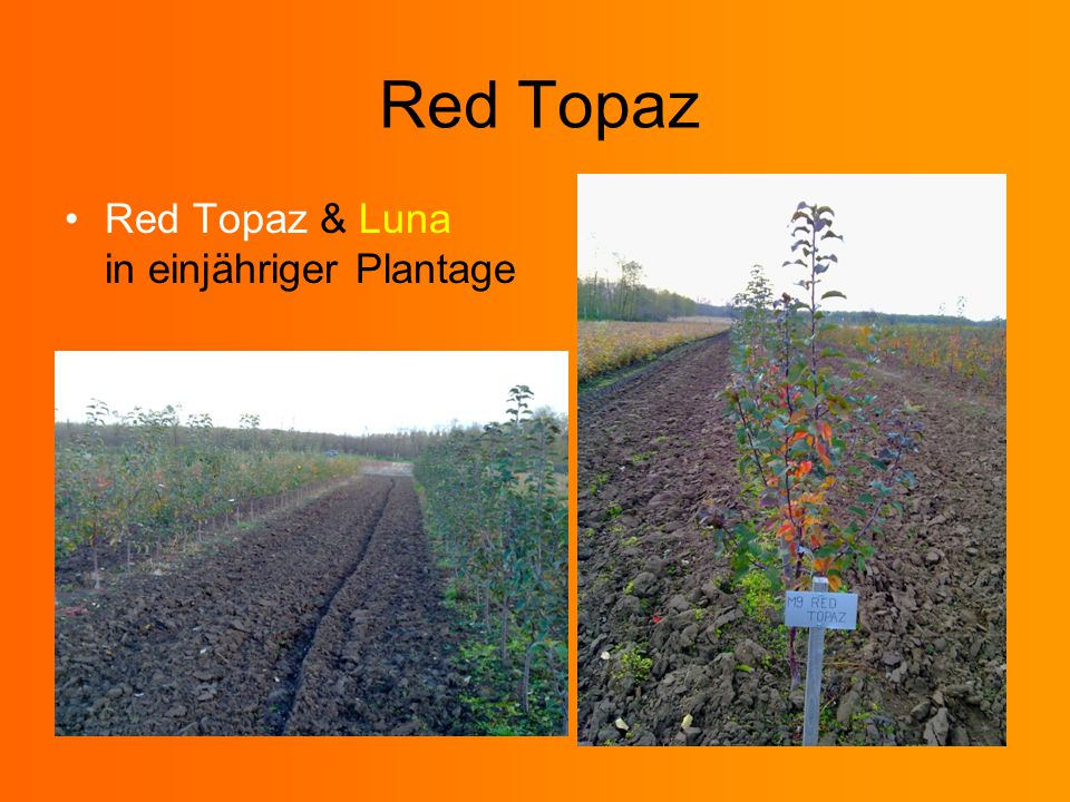Red Topaz Red Topaz & Luna in einjähriger Plantage