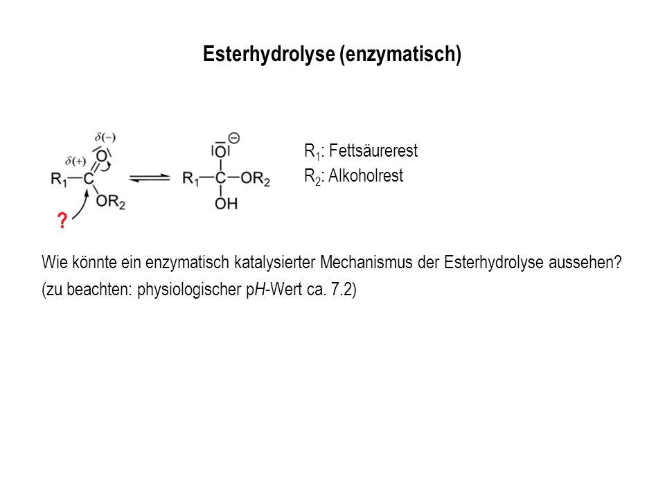 Esterhydrolyse (enzymatisch) R 1 : Fettsäurerest R 2 : Alkoholrest Wie könnte ein enzymatisch katalysierter Mechanismus der Esterhydrolyse aussehen? (