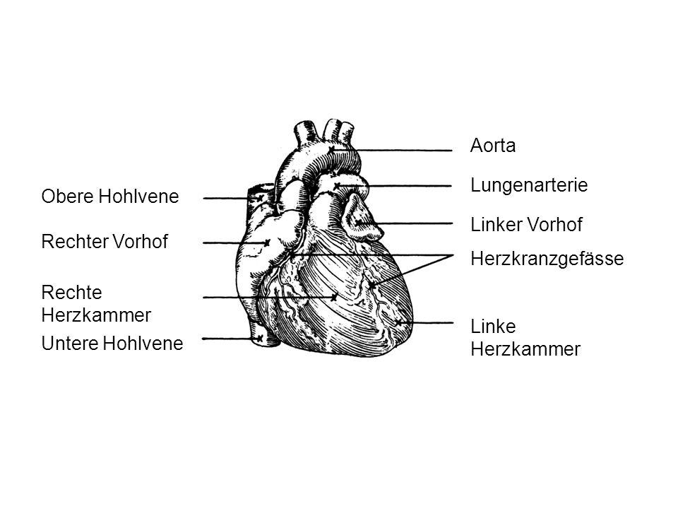 Obere Hohlvene Rechter Vorhof Rechte Herzkammer Untere Hohlvene Aorta Lungenarterie Linker Vorhof Herzkranzgefässe Linke Herzkammer