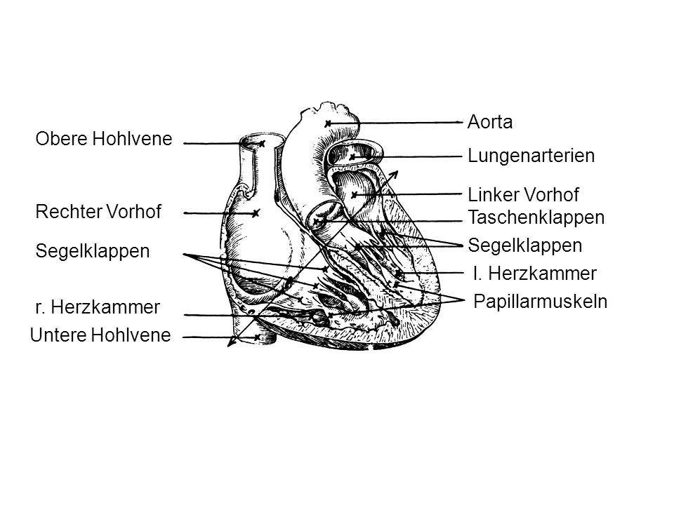 Obere Hohlvene Rechter Vorhof Segelklappen r. Herzkammer Untere Hohlvene Aorta Lungenarterien Linker Vorhof Taschenklappen Segelklappen Papillarmuskel