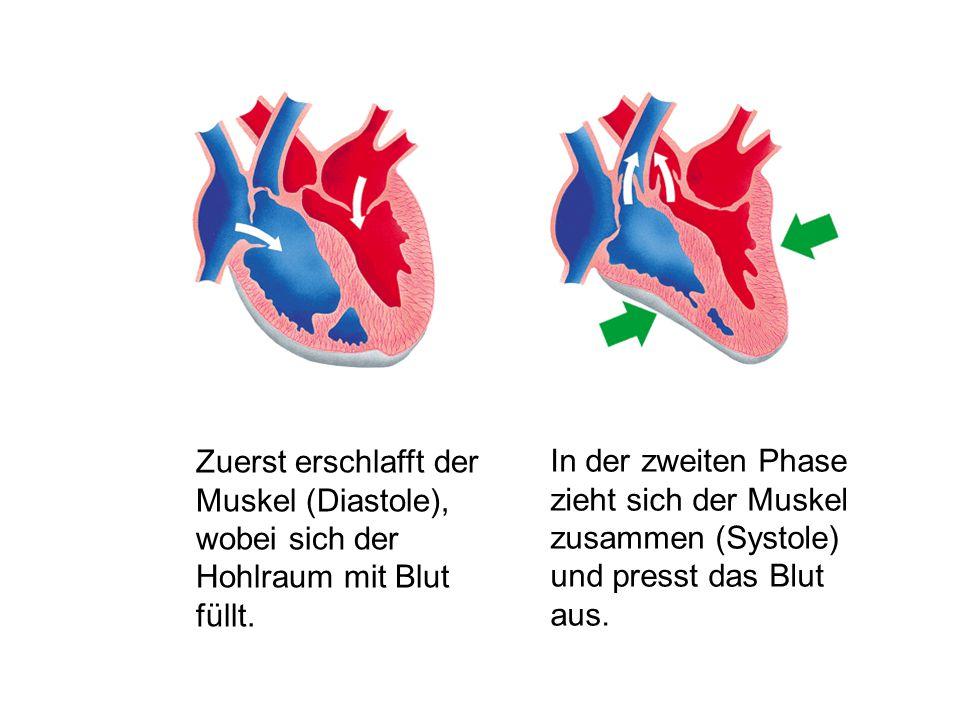 In der zweiten Phase zieht sich der Muskel zusammen (Systole) und presst das Blut aus. Zuerst erschlafft der Muskel (Diastole), wobei sich der Hohlrau