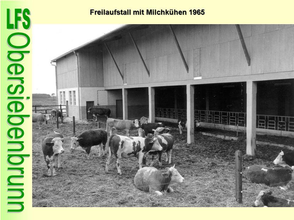 Freilaufstall mit Milchkühen 1965