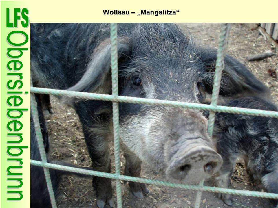 Wollsau – Mangalitza