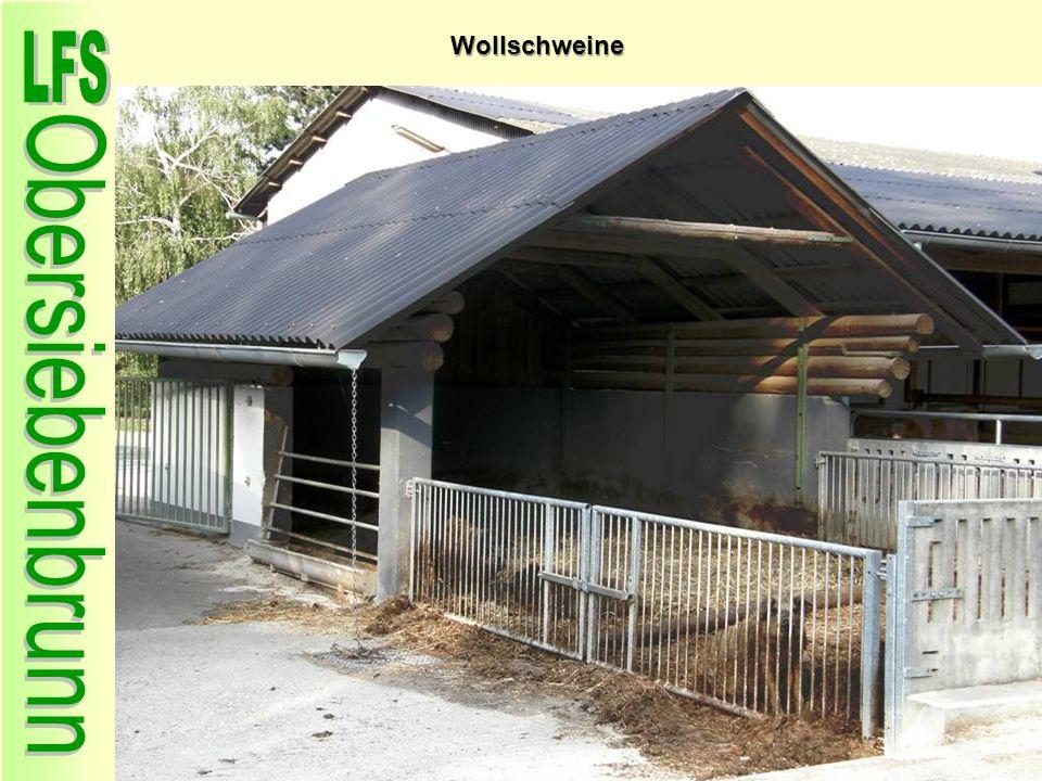 Wollschweine