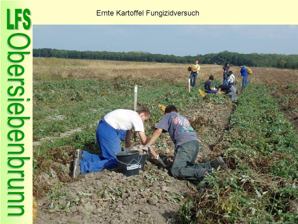 Ernte Kartoffel Fungizidversuch