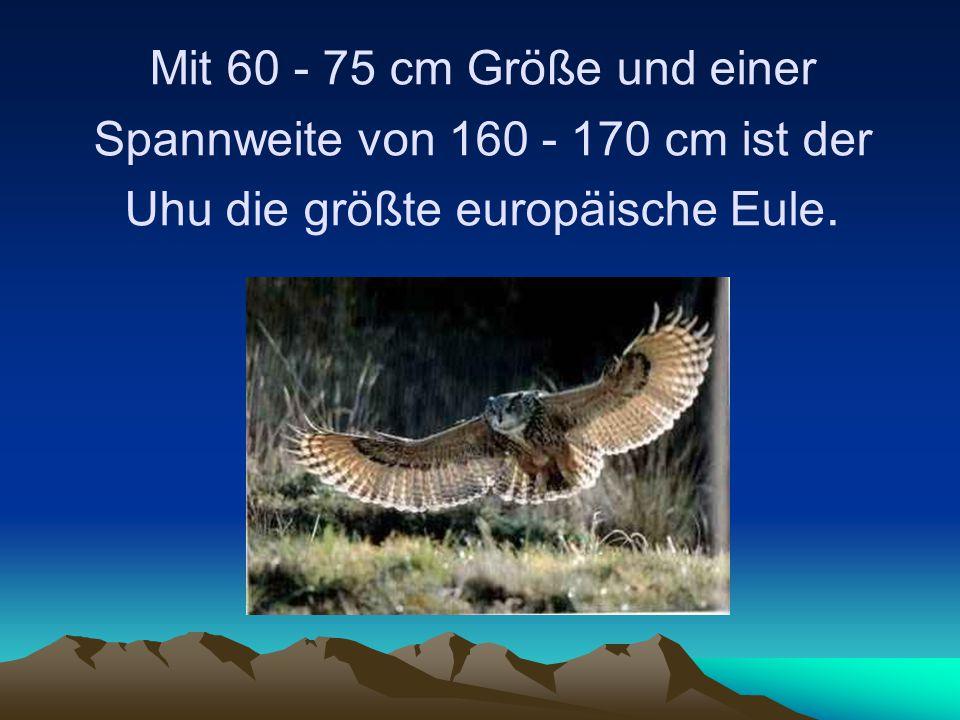 Mit 60 - 75 cm Größe und einer Spannweite von 160 - 170 cm ist der Uhu die größte europäische Eule.
