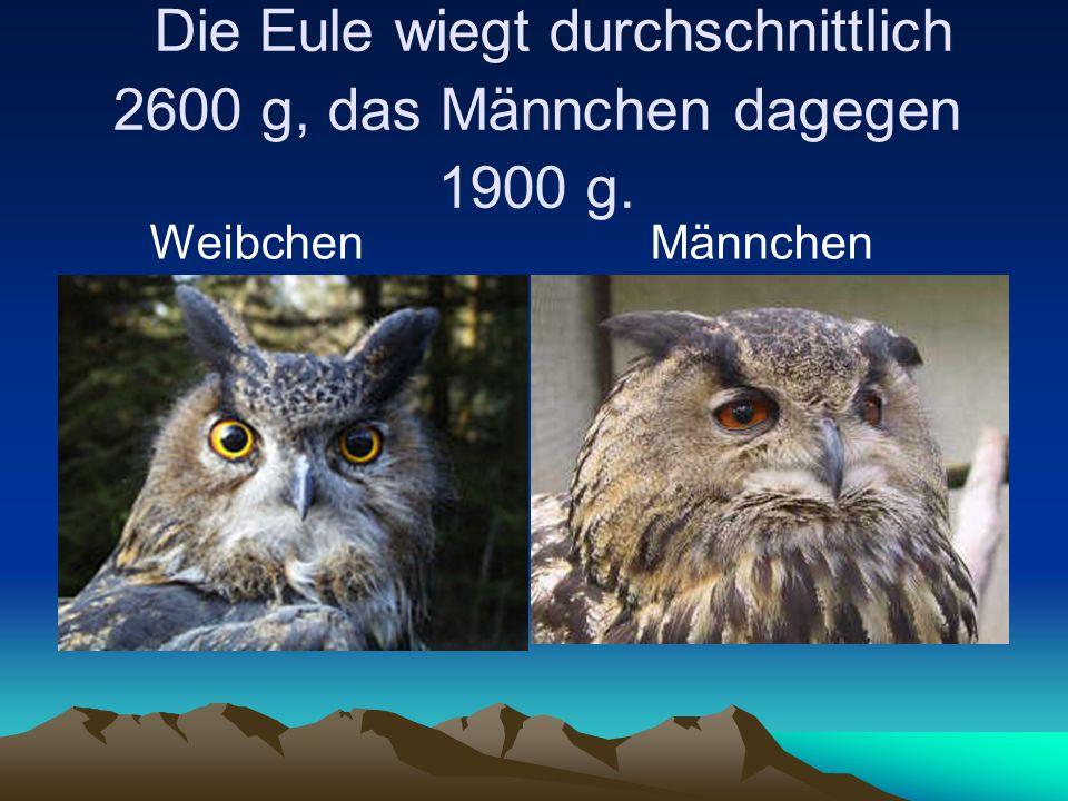 Die Eule wiegt durchschnittlich 2600 g, das Männchen dagegen 1900 g. Weibchen Männchen