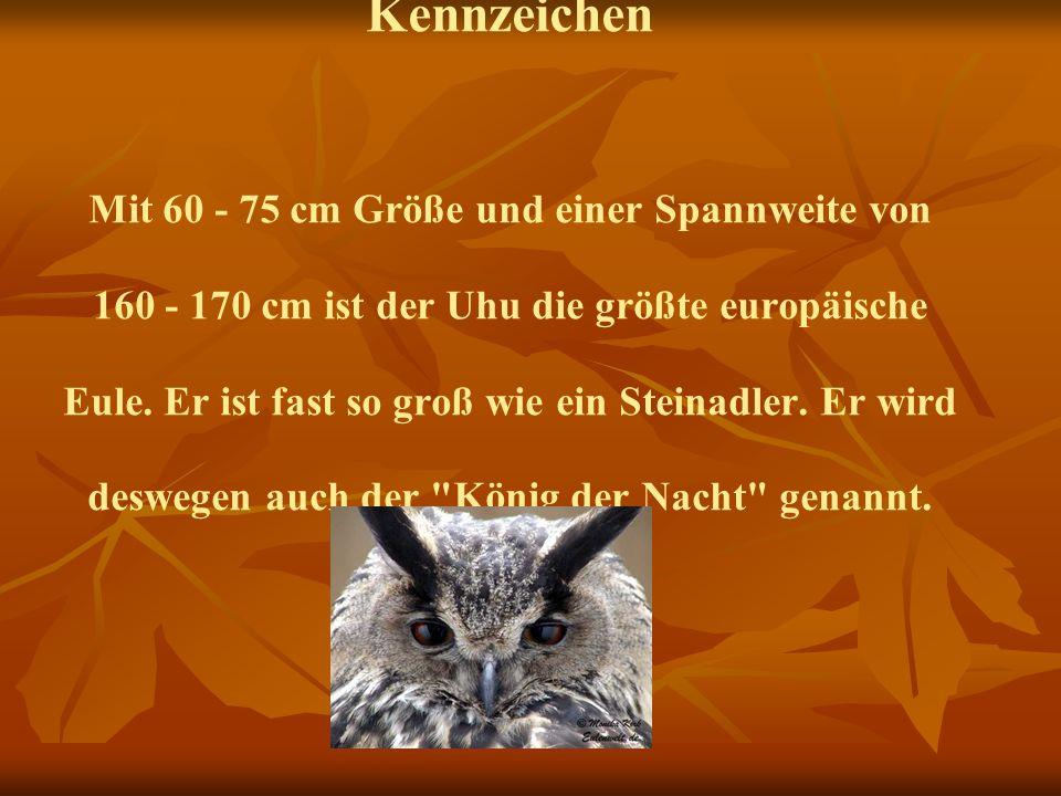 Kennzeichen Mit 60 - 75 cm Größe und einer Spannweite von 160 - 170 cm ist der Uhu die größte europäische Eule. Er ist fast so groß wie ein Steinadler