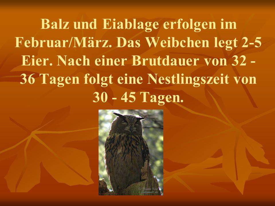 Balz und Eiablage erfolgen im Februar/März. Das Weibchen legt 2-5 Eier. Nach einer Brutdauer von 32 - 36 Tagen folgt eine Nestlingszeit von 30 - 45 Ta