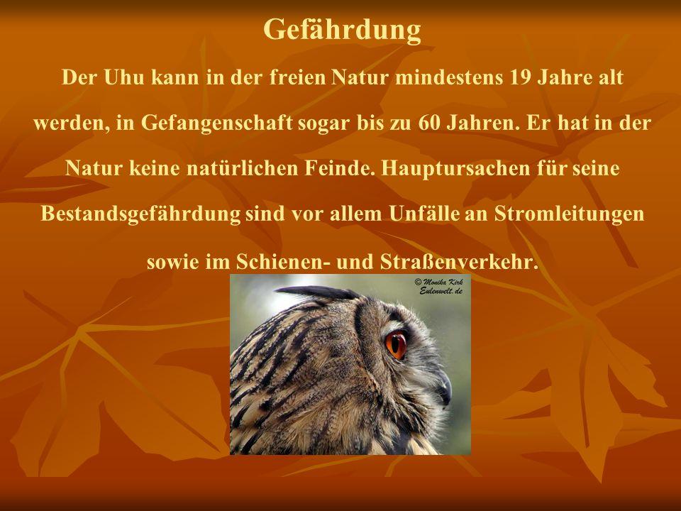 Gefährdung Der Uhu kann in der freien Natur mindestens 19 Jahre alt werden, in Gefangenschaft sogar bis zu 60 Jahren. Er hat in der Natur keine natürl