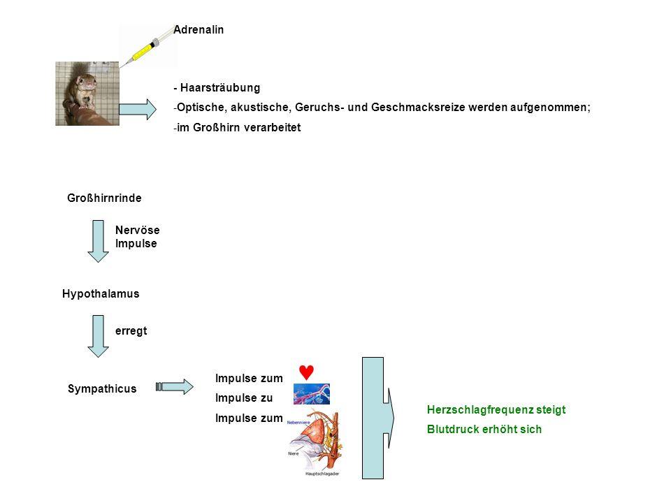 Adrenalin - Haarsträubung -Optische, akustische, Geruchs- und Geschmacksreize werden aufgenommen; -im Großhirn verarbeitet Großhirnrinde Nervöse Impul
