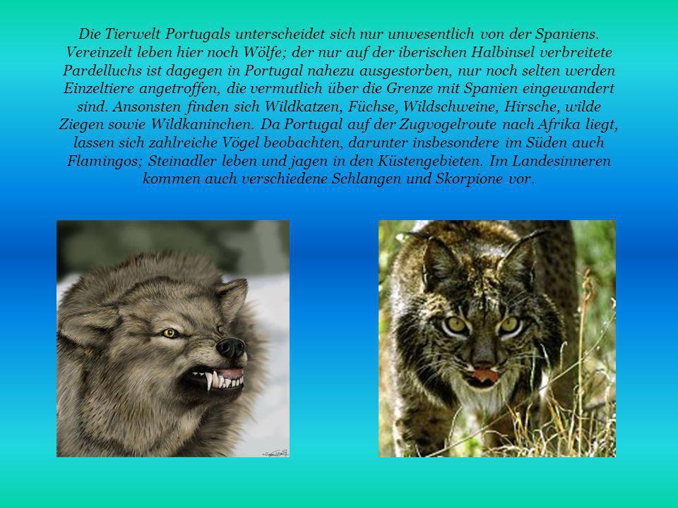 Die Tierwelt Portugals unterscheidet sich nur unwesentlich von der Spaniens. Vereinzelt leben hier noch Wölfe; der nur auf der iberischen Halbinsel ve