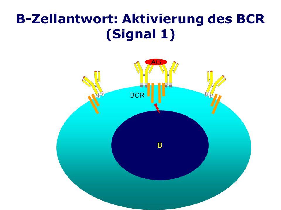 B-Zellantwort: Aktivierung des BCR (Signal 1) B AG BCR
