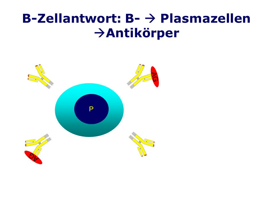 B-Zellantwort: B- Plasmazellen Antikörper P AG