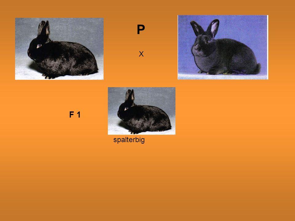 X F 1 spalterbig P