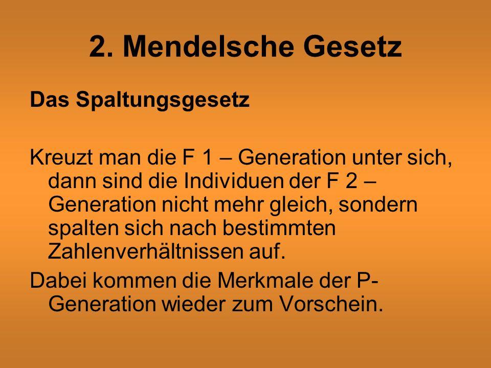 2. Mendelsche Gesetz Das Spaltungsgesetz Kreuzt man die F 1 – Generation unter sich, dann sind die Individuen der F 2 – Generation nicht mehr gleich,