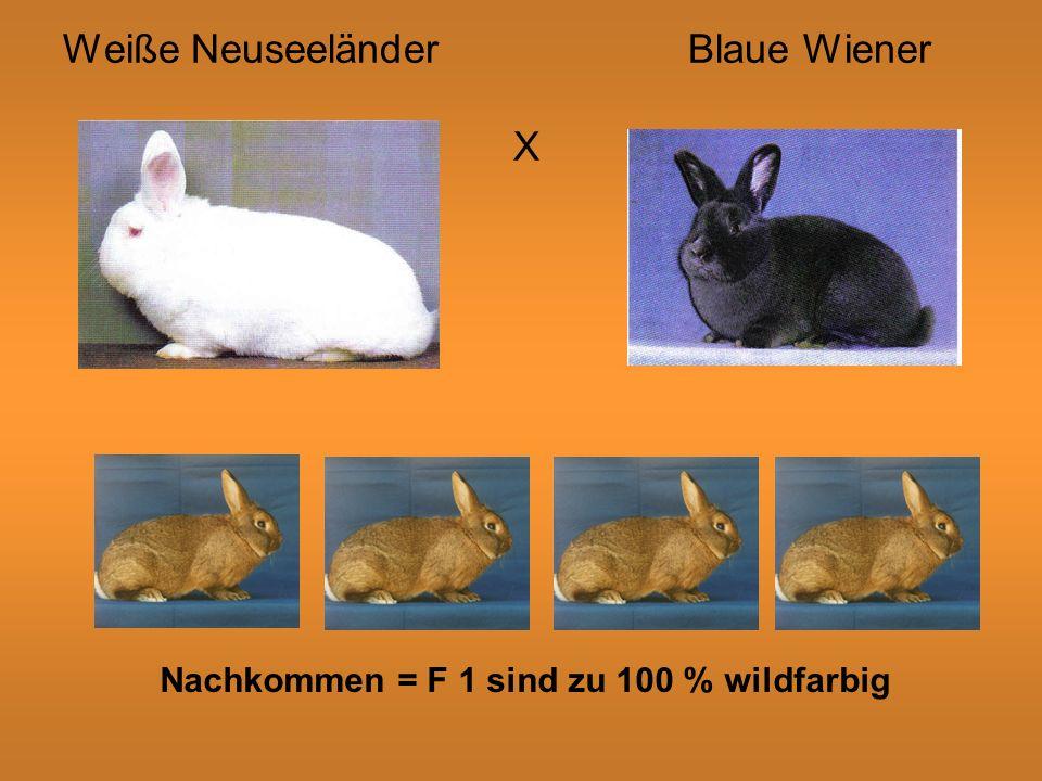 Weiße NeuseeländerBlaue Wiener X Nachkommen = F 1 sind zu 100 % wildfarbig
