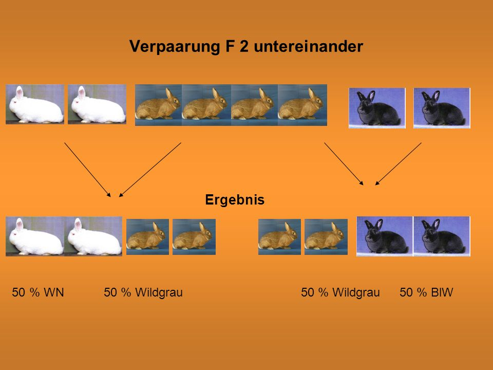 Verpaarung F 2 untereinander Ergebnis 50 % WN50 % Wildgrau50 % Wildgrau50 % BlW