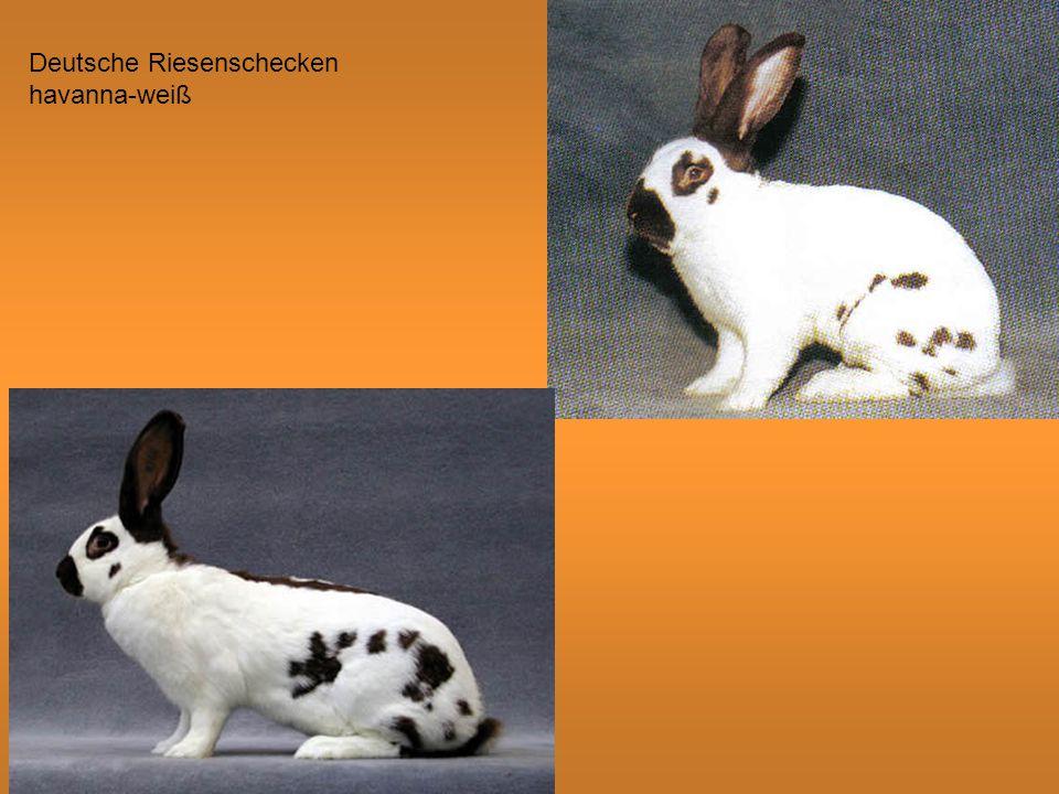 Deutsche Riesenschecken havanna-weiß