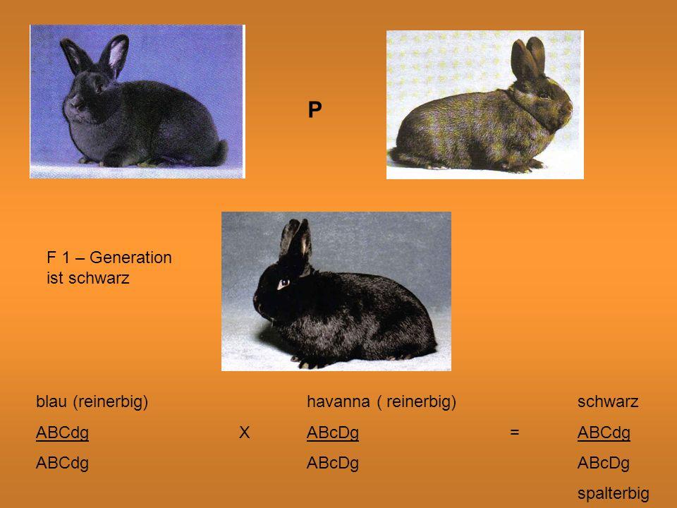 P F 1 – Generation ist schwarz blau (reinerbig)havanna ( reinerbig)schwarz ABCdgXABcDg=ABCdg ABCdgABcDgABcDg spalterbig