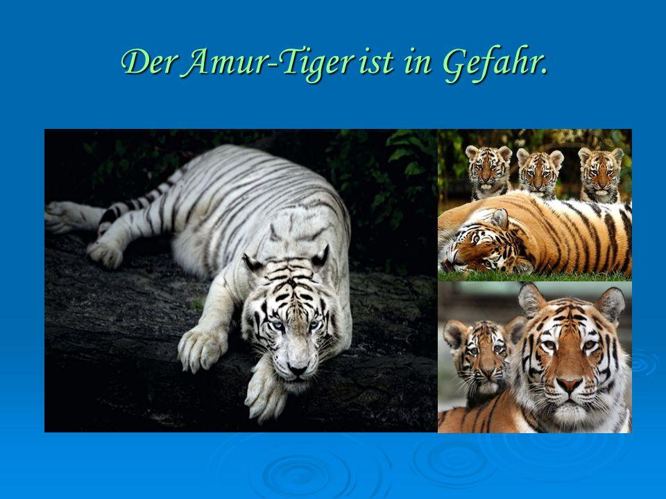 Der Amur-Tiger ist in Gefahr.