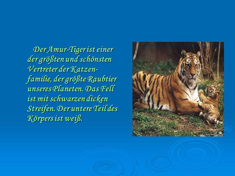 Der Amur-Tiger ist einer der größten und schönsten Vertreter der Katzen- familie, der größte Raubtier unseres Planeten.