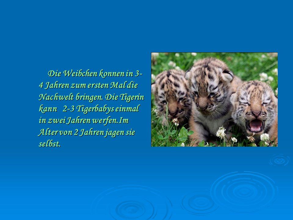 Die Weibchen konnen in 3- 4 Jahren zum ersten Mal die Nachwelt bringen.
