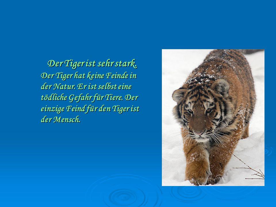 Der Tiger ist sehr stark.Der Tiger hat keine Feinde in der Natur.