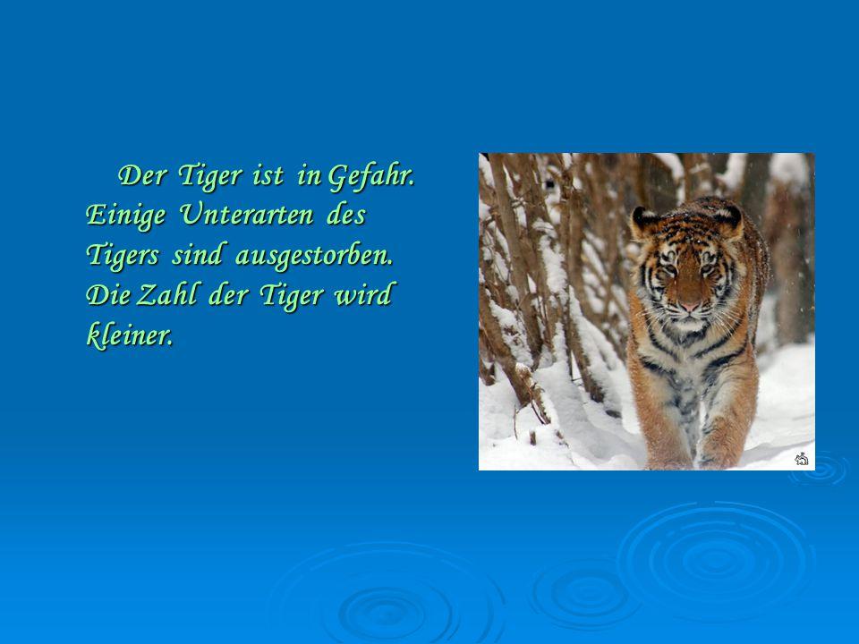 Der Tiger ist in Gefahr.Einige Unterarten des Tigers sind ausgestorben.