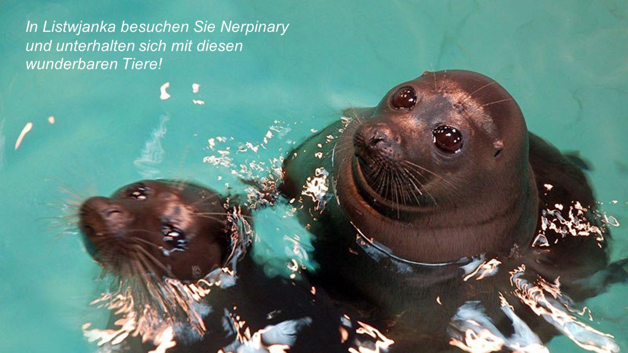 In Listwjanka besuchen Sie Nerpinary und unterhalten sich mit diesen wunderbaren Tiere!