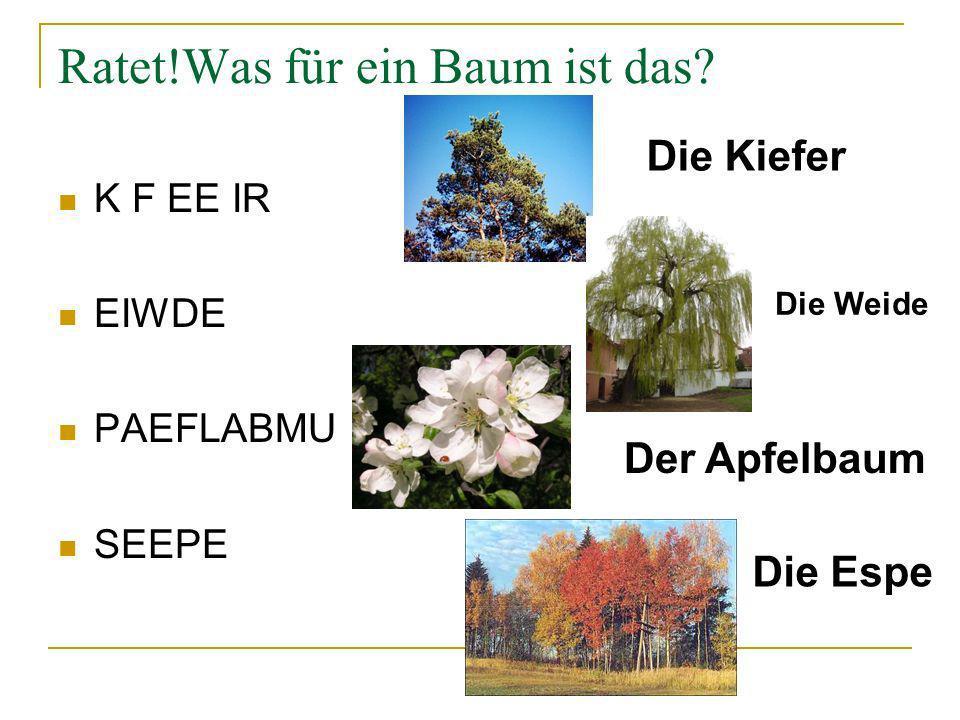 Ratet!Was für ein Baum ist das? K F EE IR EIWDE PAEFLABMU SEEPE Die Kiefer Die Weide Der Apfelbaum Die Espe