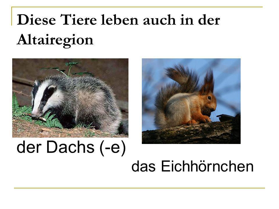 Diese Tiere leben auch in der Altairegion der Dachs (-e) das Eichhörnchen