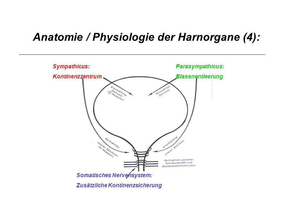 Anatomie / Physiologie der Harnorgane (4): Sympathicus: Kontinenzzentrum Parasympathicus: Blasenentleerung Somatisches Nervensystem: Zusätzliche Konti