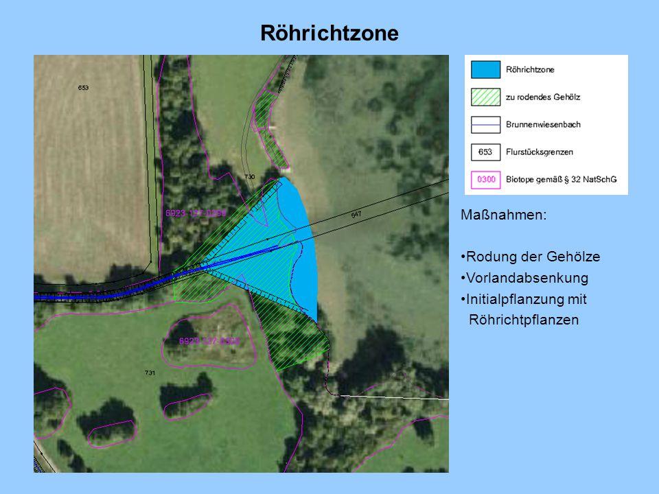 Röhrichtzone Maßnahmen: Rodung der Gehölze Vorlandabsenkung Initialpflanzung mit Röhrichtpflanzen