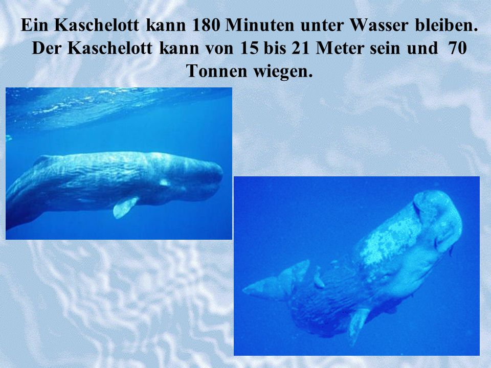 Ein Kaschelott kann 180 Minuten unter Wasser bleiben. Der Kaschelott kann von 15 bis 21 Meter sein und 70 Tonnen wiegen.