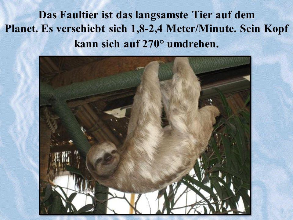 Das Faultier ist das langsamste Tier auf dem Planet. Es verschiebt sich 1,8-2,4 Meter/Minute. Sein Kopf kann sich auf 270° umdrehen.