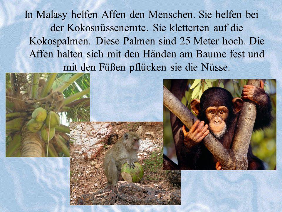 In Malasy helfen Affen den Menschen. Sie helfen bei der Kokosnüssenernte. Sie kletterten auf die Kokospalmen. Diese Palmen sind 25 Meter hoch. Die Aff