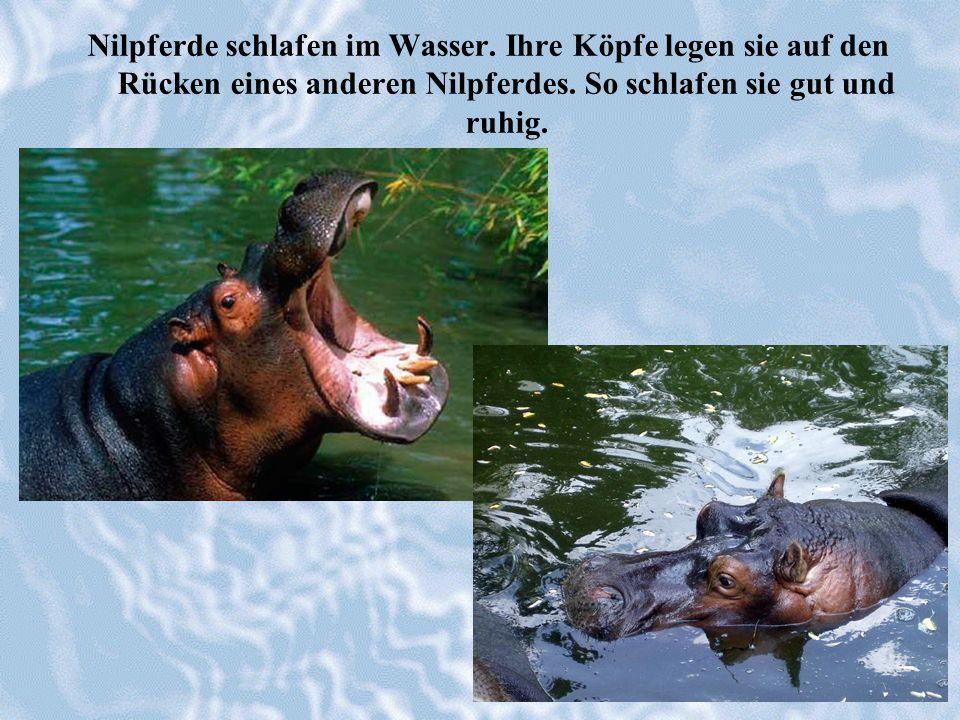 Nilpferde schlafen im Wasser. Ihre Köpfe legen sie auf den Rücken eines anderen Nilpferdes. So schlafen sie gut und ruhig.