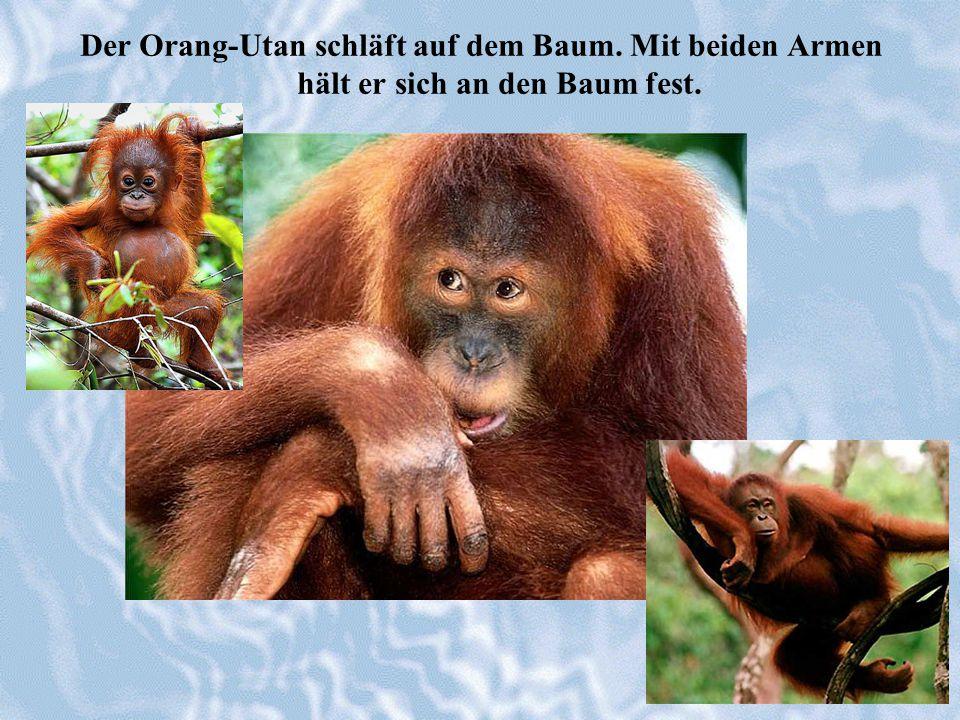 Der Orang-Utan schläft auf dem Baum. Mit beiden Armen hält er sich an den Baum fest.