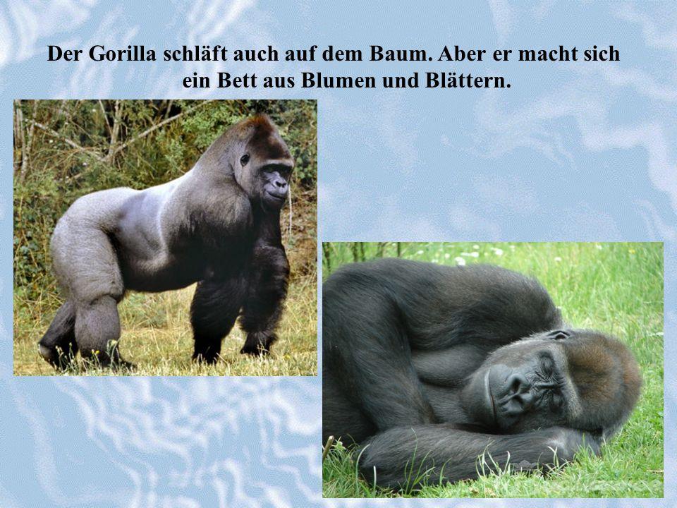 Der Gorilla schläft auch auf dem Baum. Aber er macht sich ein Bett aus Blumen und Blättern.