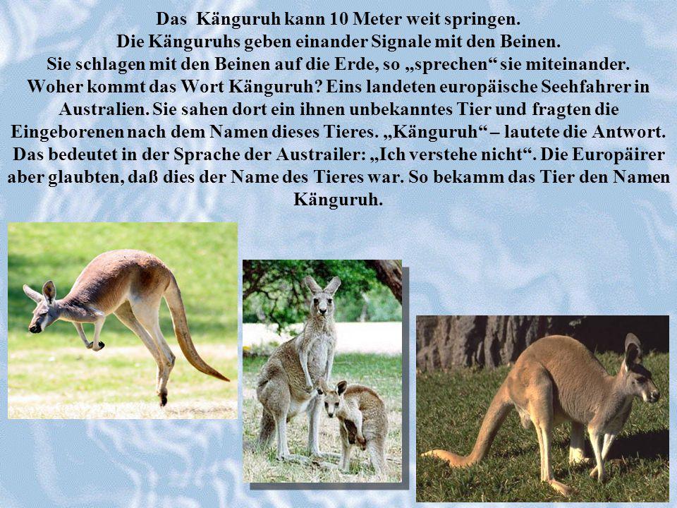 Das Känguruh kann 10 Meter weit springen. Die Känguruhs geben einander Signale mit den Beinen. Sie schlagen mit den Beinen auf die Erde, so sprechen s