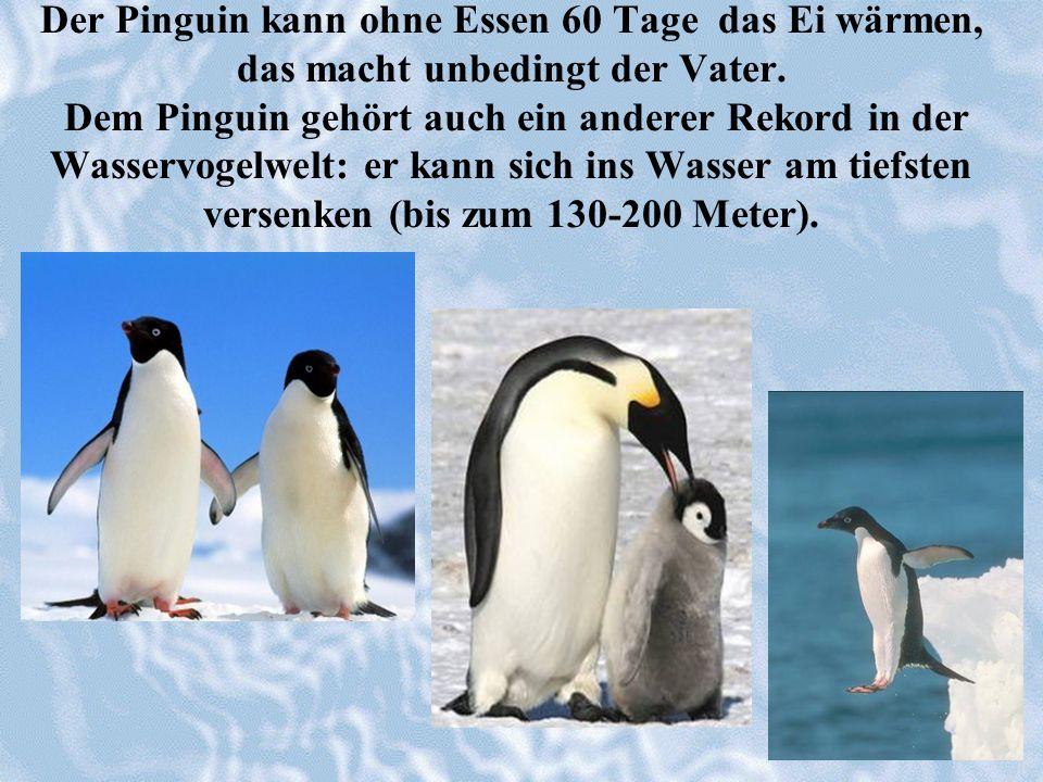 Der Pinguin kann ohne Essen 60 Tage das Ei wärmen, das macht unbedingt der Vater. Dem Pinguin gehört auch ein anderer Rekord in der Wasservogelwelt: e