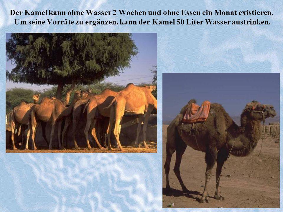 Der Kamel kann ohne Wasser 2 Wochen und ohne Essen ein Monat existieren. Um seine Vorräte zu ergänzen, kann der Kamel 50 Liter Wasser austrinken.