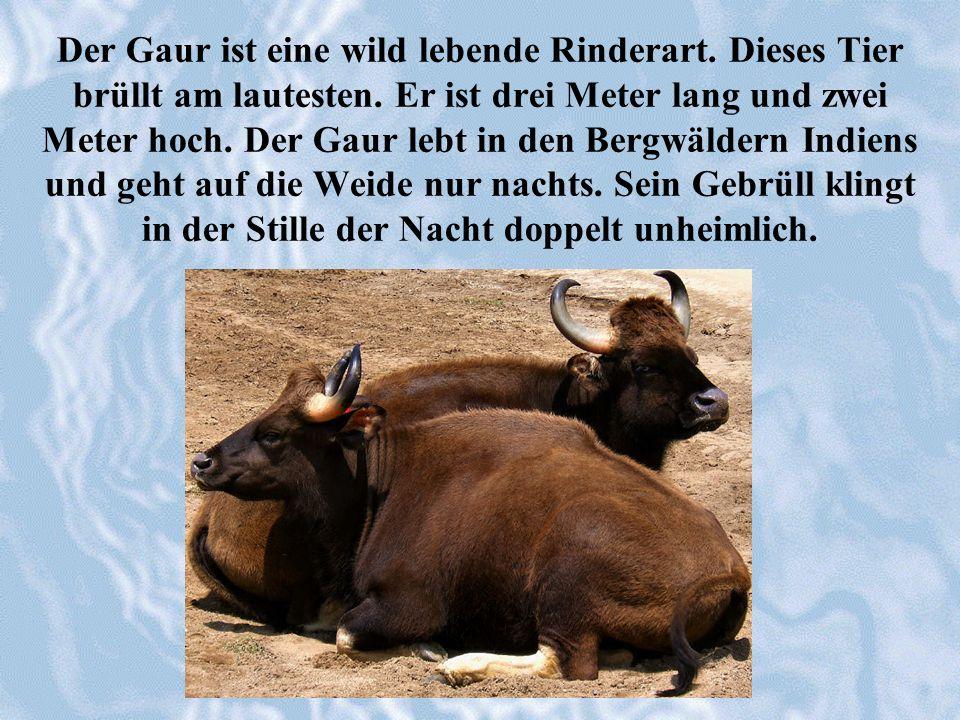 Der Gaur ist eine wild lebende Rinderart. Dieses Tier brüllt am lautesten. Er ist drei Meter lang und zwei Meter hoch. Der Gaur lebt in den Bergwälder