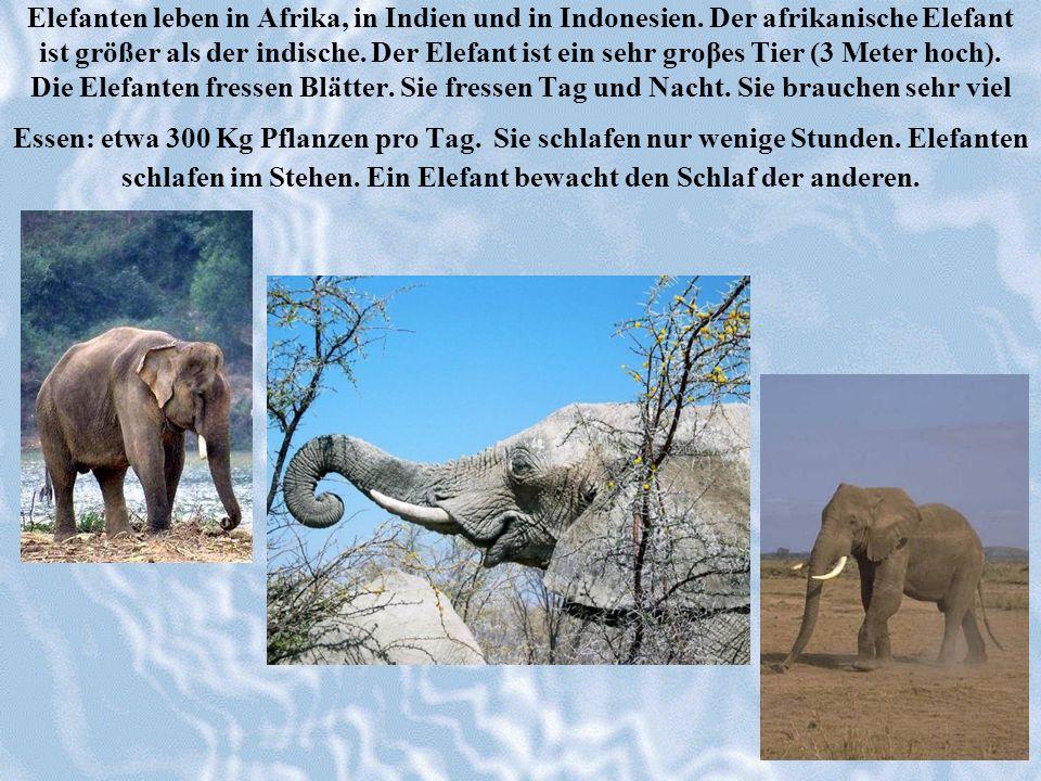 Elefanten leben in Afrika, in Indien und in Indonesien. Der afrikanische Elefant ist größer als der indische. Der Elefant ist ein sehr groβes Tier (3
