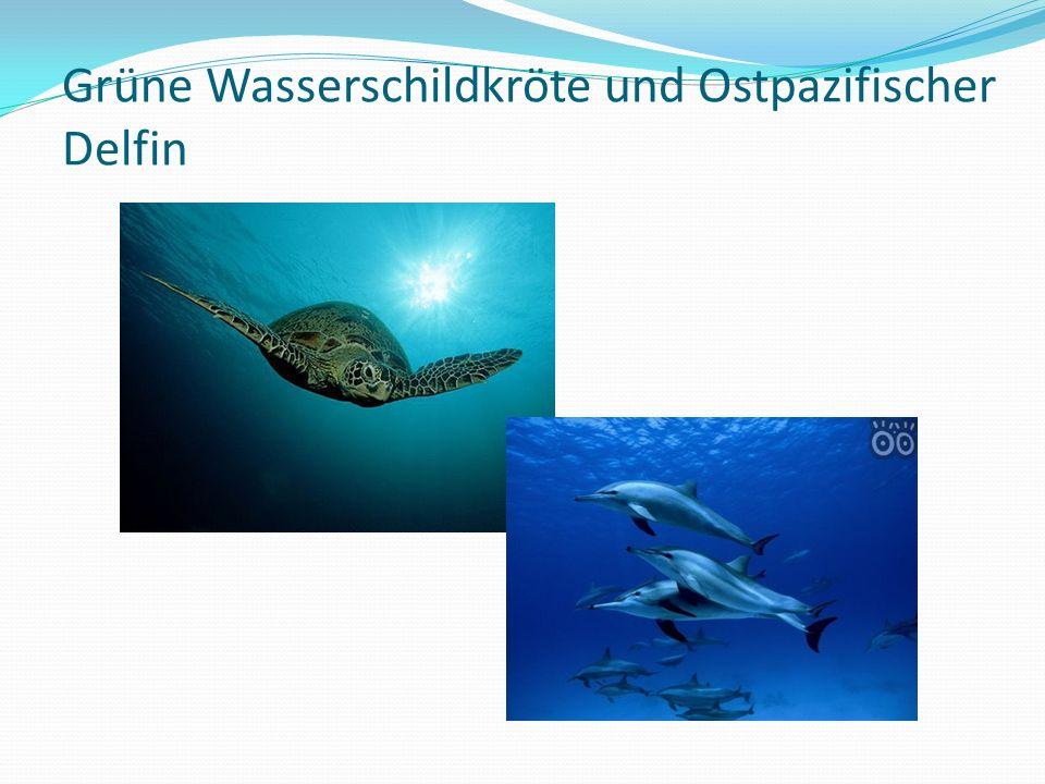 Grüne Wasserschildkröte und Ostpazifischer Delfin
