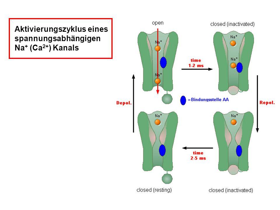 Aktivierungszyklus eines spannungsabhängigen Na + (Ca 2+ ) Kanals
